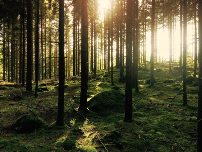 Aurinkoinen metsä.