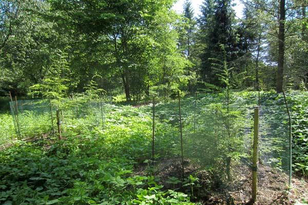 Lännenhemlokki (Tsuga heterophylla) Kielosaarenpuistossa. Kuva: Satu Tegel.